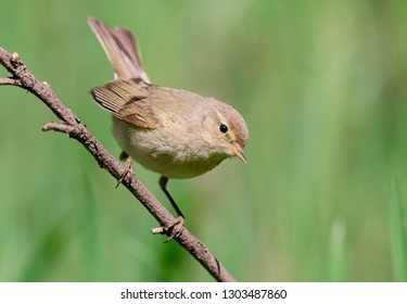Common chiffchaff, or simply the chiffchaff, (Phylloscopus collybita)
