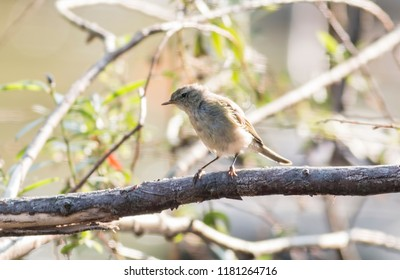 Common Chiffchaff sitting on the branch