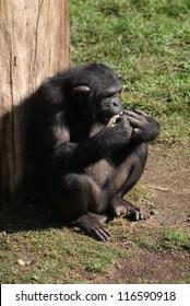 Common Chimpanzee - Pan troglodytes