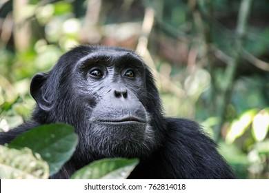Common Chimpanzee - Scientific name- Pan troglodytes schweinfurtii portrait at Kibale Forest National Park, Rwenzori Mountains, Uganda, Africa