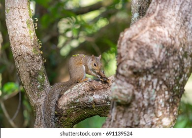 Common Chipmunk in Miami Florida Park,USA