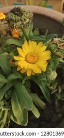 common chrysanthemum flower of my garden