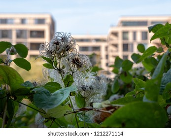Common clematis - Clematis vitalba - with modern houses as background - detail shot.jpg