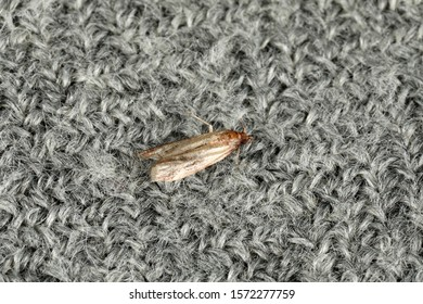 Common clothes moth (Tineola bisselliella) on grey fabric, top view