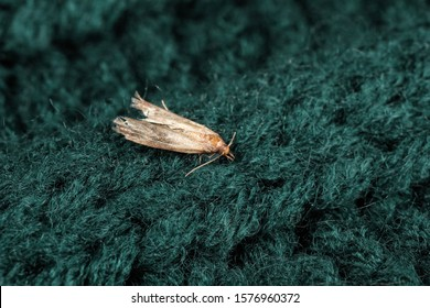 Common clothes moth (Tineola bisselliella) on green knitted fabric, closeup