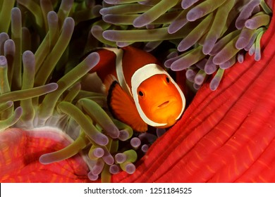 A Common clownfish (Amphiprion ocellaris) hides among the tentacles of an anemone, Bunaken National Marine Park, Indonesia