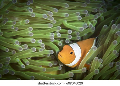 Common Clownfish (Amphiprion Ocellaris) swimming between anemone tentacles in Bali Beautiful orange anemone fish looking at the photographer during a dive in Tulamben, Bali, Inonesia