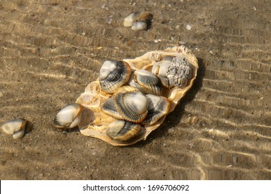 Common cockles underwater on seabed - species of edible saltwater clams