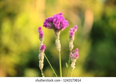 Common cockscomb flower, Celosia argentea