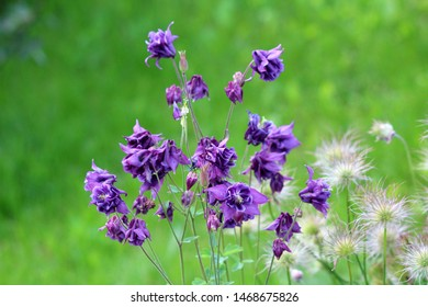 Common columbine or Aquilegia vulgaris or European columbine or Grannys nightcap or Grannys bonnet herbaceous perennial plants with branched thinly hairy stems and beautiful layered blooming