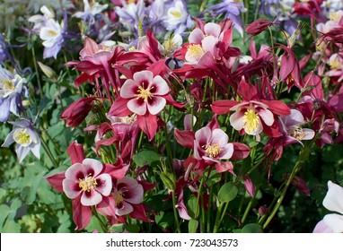 Common columbine, Granny's nightcap, Granny's bonnet, European columbine, Aquilegia vulgaris flowers.