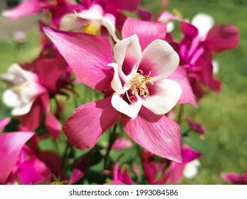 common columbine (in german Gemeine Akelei also Wald-Akelei) Iris latifolia - Shutterstock ID 1993084586