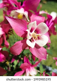 common columbine (in german Gemeine Akelei also Wald-Akelei) Iris latifolia - Shutterstock ID 1993985195
