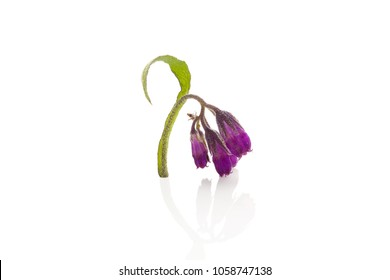 Common comfrey, Symphytum officinale. Comfrey isolated on a white background. Medicinal plant.