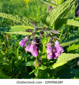 Common Comfrey (Symphytum officinale); purple flowers running to seed