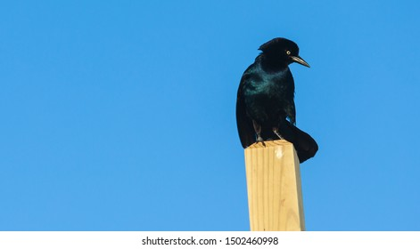 I'm common, but cool. Image of Common Grackle perched atop a light wood beach-stair post, sharply contrasted against the solid blue morning sky. Master of all it surveys.