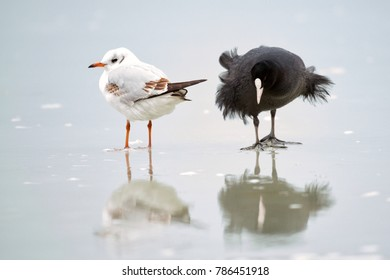Common Coot (Fulica atra) and black-headed gull (Chroicocephalus ridibundus) on ice in winter.