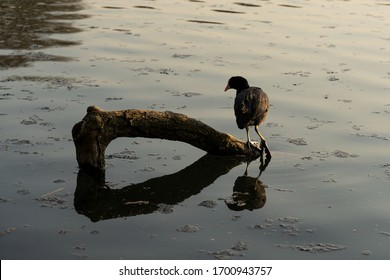 A common coot standing on a tree branch