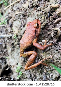 """Eleutherodactylus coqui"" Common coqui frog. Picture taken at El Yunque National Forest, Puerto Rico"
