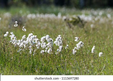 Common cotton grass closeup from a wetland at the swedish island Oland