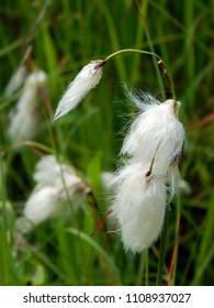 Common Cotton Grass (Eriophorum angustifolium) with white fluffy seed heads growing at the side of a pond