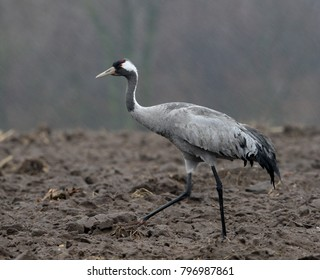 common crane in autumn fog  - Shutterstock ID 796987861