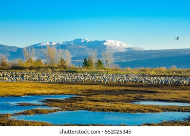 Common crane birds in Agamon Hula bird refuge, with Mount Hermon in the background. Hula Valley, Israel