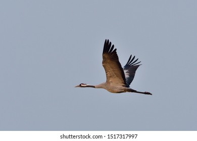 Common crane in flight in autumn in upper lusatia
