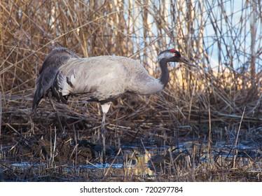 Common crane (Grus grus).
