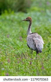 Common Crane, (Grus grus), an adult, Gloucestershire, UK.