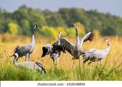 Common Crane - Grus grus, beautiful large bird from Euroasian fields and meadows, Hortobagy National Park, Hungary.
