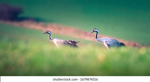 Common Crane - Grus grus, beautiful large bird from Euroasian fields and meadows, Czech republic, wildlife, the best photo. - Shutterstock ID 1679874316