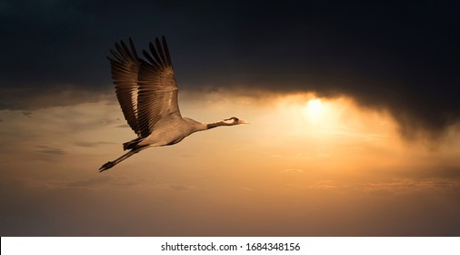 Common Crane - Grus grus, beautiful large bird from Euroasian fields and flying in the sunset, amazing magical photo, Czech republic, wildlife - Shutterstock ID 1684348156
