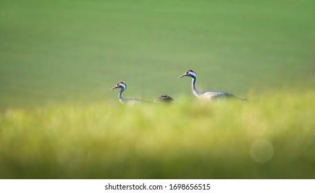 Common Crane - Grus grus, beautiful large bird from Euroasian fields and meadows, Czech republic, wildlife, the best photo. - Shutterstock ID 1698656515