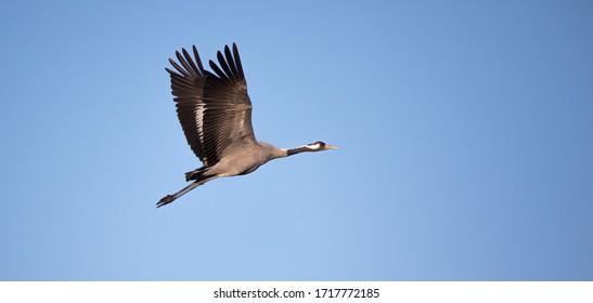 Common Crane - Grus grus, beautiful large bird from Euroasian fields and flying, amazing magical photo., Czech republic, wildlife. the best photo. - Shutterstock ID 1717772185