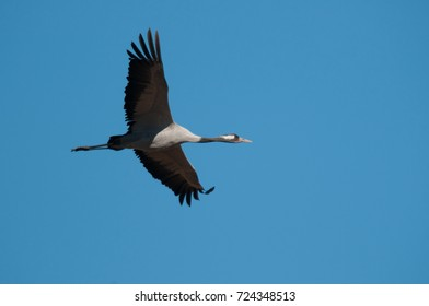 Common crane , Grus grus, flying over the water. A large elegant grey bird in its natural environment in Scandinavia. Action picture from lake Hornborga in Sweden.
