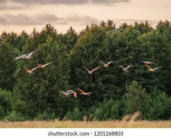 The common crane (Grus grus), also known as the Eurasian crane, is a bird of the family Gruidae, Podlasie. Podlachia. Poland, Europe. The region is called Podlasko or Podlasze