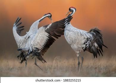 Common crane ( Grus grus ) pair mating - Shutterstock ID 1883255215