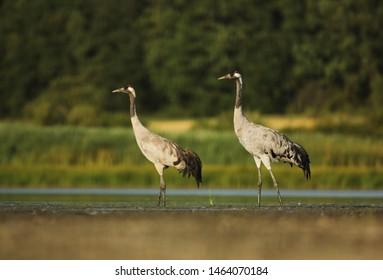 Common Crane pair on lake