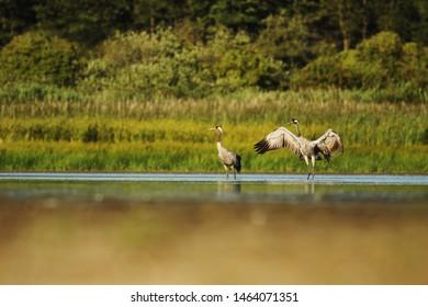 Common crane pair walking aroud lake