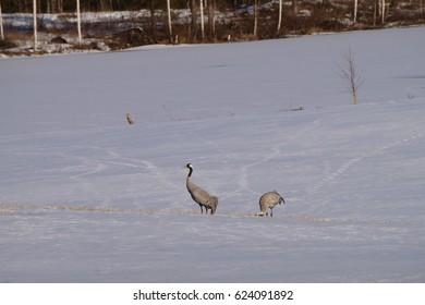 Common cranes birds on snowy field
