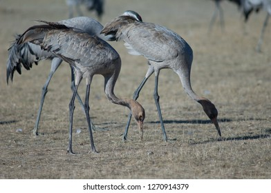 Common cranes (Grus grus). Juveniles searching for food. Gallocanta Lagoon Natural Reserve. Aragon. Spain.