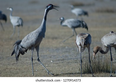 Common cranes (Grus grus). One adult claiming and two juveniles searching for food. Gallocanta Lagoon Natural Reserve. Aragon. Spain.