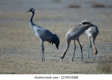 Common cranes (Grus grus). One adult and two juveniles searching for food. Gallocanta Lagoon Natural Reserve. Aragon. Spain.
