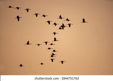 Des grues communes dans le ciel. Un troupeau de grues volant au lever du soleil. La nature sauvage de la Pologne. Silhouettes d'oiseaux corps dans le ciel.