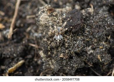 Common cross spider (Araneus diadematus) on the ground. Wild arthropods