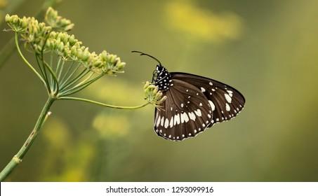 Common crow butterfly(Euploea core) resting on wild parsnip(Pastinaca sativa)