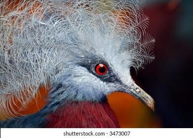 Common Crown Pigeon