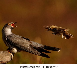 Common Cuckoo being mobbed by Meadow Pipit