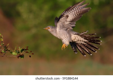 Common cuckoo. Bird in flight.